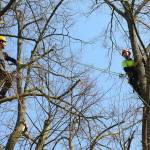 Ošetřování solitérní lípy - Benešov nad Černou